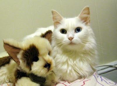 possible turkish angora cat