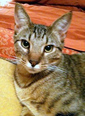 large mackerel tabby cat that could be a Savannah hybrid