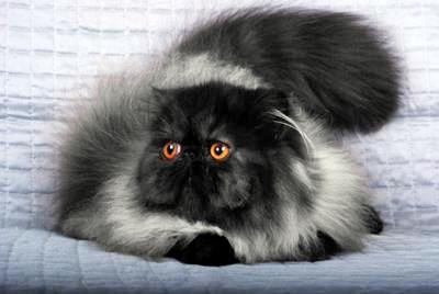 Xcentric a black smoke girl Persian cat