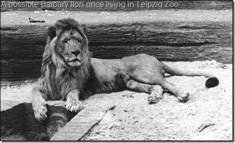 A possible Barbary lion once living in Leipzig Zoo