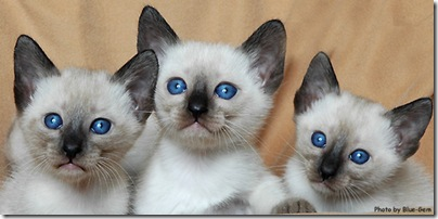 Thai cat breed kittens