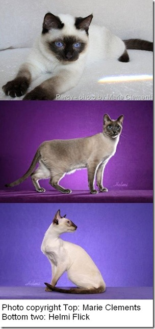 traditional-classic-thai-modern-siamese-cats-2
