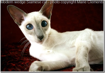 modern wedge Siamese cat