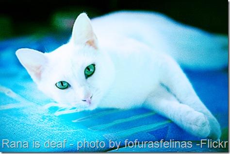 deaf-cat