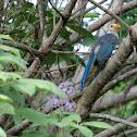 Yucatan Jay (juvenile)