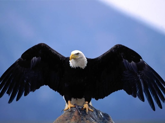Bald_Eagle-Wingspan