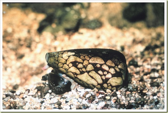 03-most-poisonous-animals-in-the-world-marbled-cone-snail