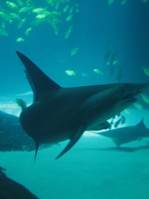 largest hammerhead shark - photo #10