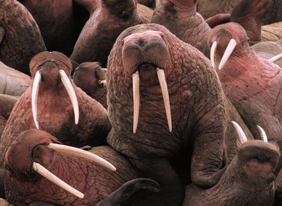 polygamous_walrus