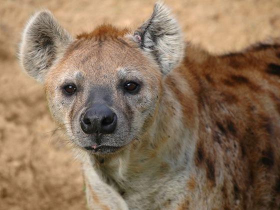 polygamous_hyena
