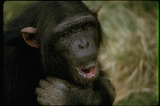 polygamous_chimpanzee