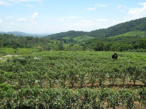 Entre Chiang Saeng y Chiang Kong. Plantacion de te en lo alto de un puertecillo. Parada y prueba del producto.