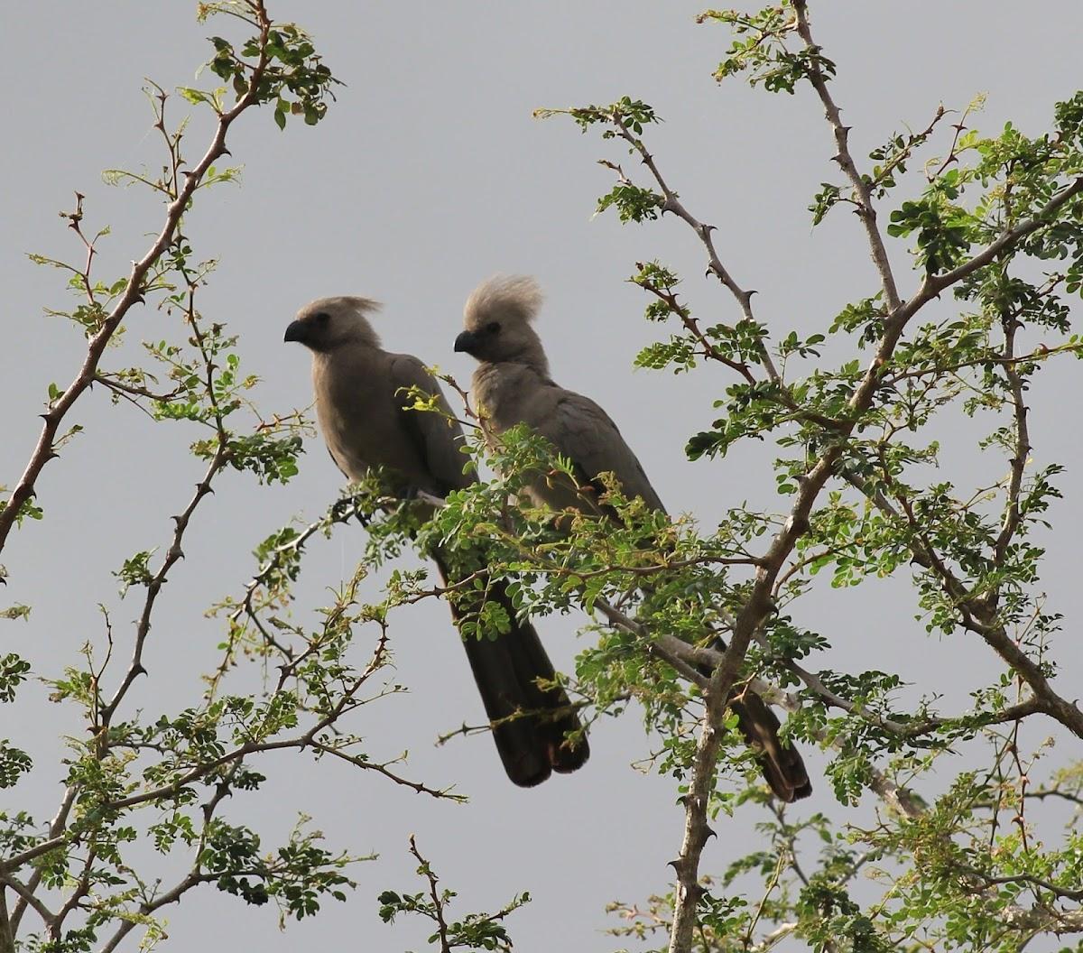 Grey Go-away-bird