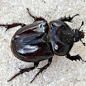 Triceratops Beetle