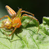Lynx Spider Attackig A Golden Tortoise Beetle