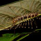 Cave Centipede