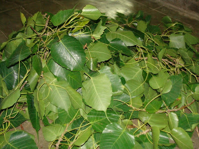 Raw natural pipal leaves