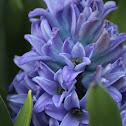 Hyacinth (plant)