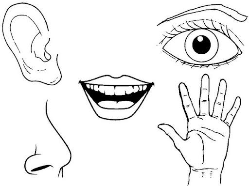 Dibujos De Los Organos De Los Sentidos Para Niños Para Colorear Imagui