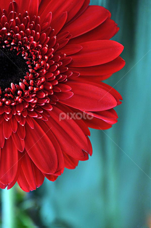 Standing Proud by Michelle Wermuth - Flowers Single Flower ( red, daisy, flower )