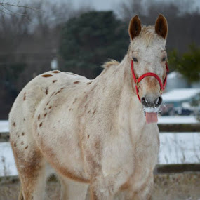 Appaloosa gelding playing in the snow! by Goose Gander - Animals Horses