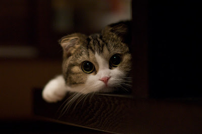 cute scottish fold kitten big eyes
