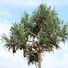Screw Pine or Pandanus Palm