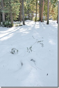 101125_chusquea_gigantea_under_snow