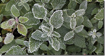 101216_catmint_with_frost