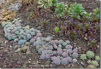 Echeverias_and_aeoniums