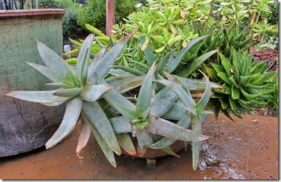 110306_ArboretumTerrace_potted_aloe