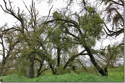 110320_walnut_trees_mistletoe