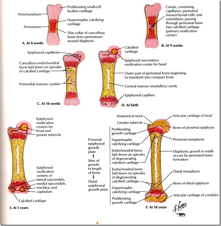 Anatomy Directional References Game as well Development Of Musculoskeletal System further Surface markings of special regions of the head and neck moreover Dorsal Column Pathway as well Gast momor. on posterior body position