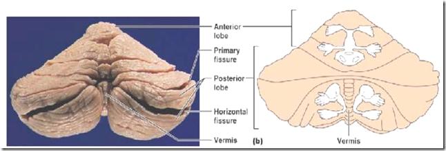 Cerebellar structure, function and vestibular disorder Flocculonodular Lobe Label