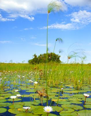 okavango delta reeds from moroko