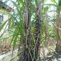 Black Skin Sugar Cane