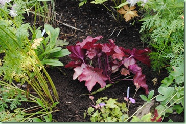 Heuchera hybrid 'Autumn leaves'