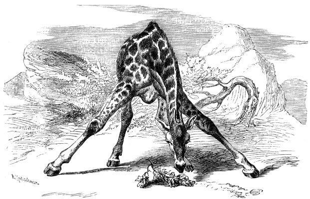 voorovergebogen giraffe, brehms tierleben