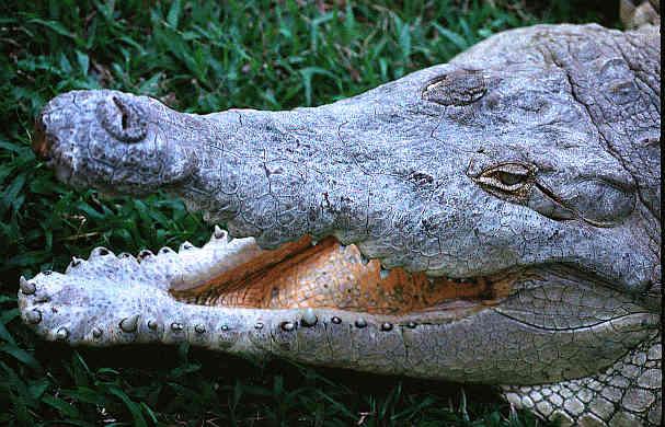 orinoco krokodil, f. wayne king