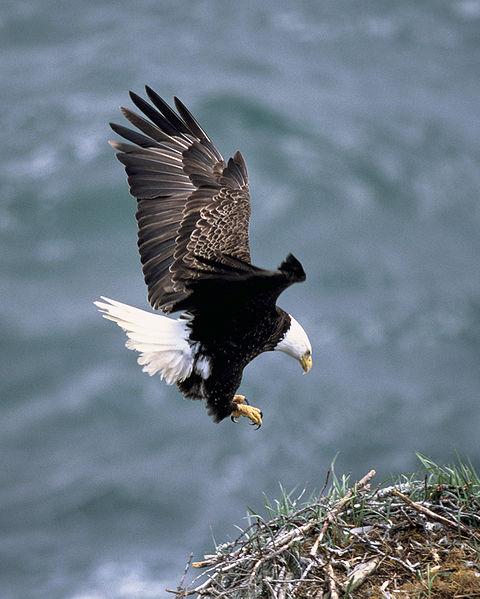 haliaeetus leucocephalus, bald eagle, amerikaanse zeearend