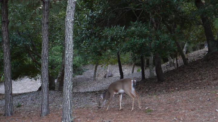 Deer - Ocean Oaks in Emerald Isle North Carolina an oceanside subdivision