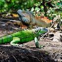 Geen Iguana (female)