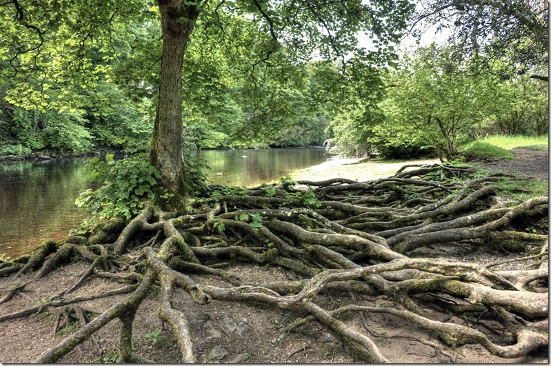 tree roots exposed on the banks of the river ure near aysgarth falls