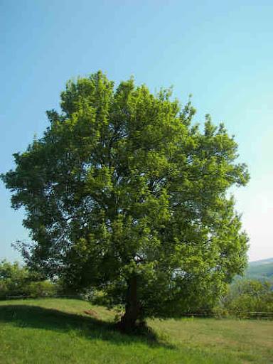 اشجار برية Acer_campestre.jpg