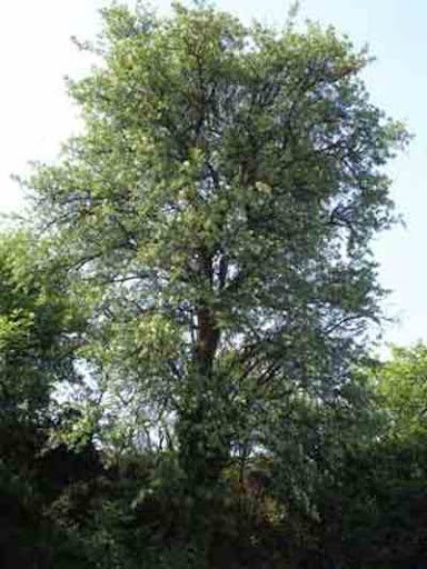 اشجار برية crataegus_azarolus_1