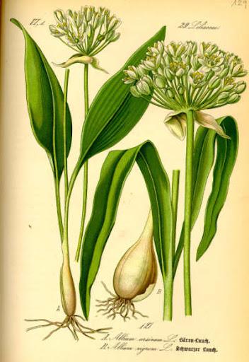 Image result for يباع الكمون في الصيدليات في ألمانيا ويستخدم للصحة والجمال