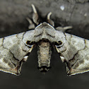 Spotted Apatelodes Moth