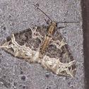 Small Phoenix Moth