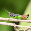 Beautiful Methiola (Grasshopper)