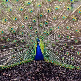 Showing off by Angela Higgins - Animals Birds